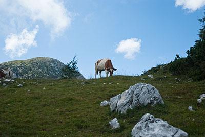 Une vache par Didier Laget
